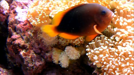 Sea-Anemones-and-Anemonefish