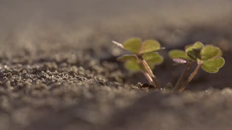Anthill-with-Clover