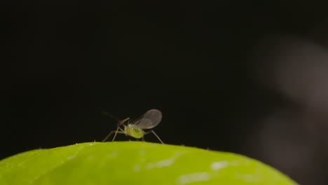 Aphid-on-Leaf-Macro-Shot