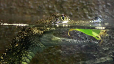 Baby-Crocodile-in-Water
