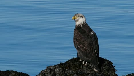 Bald-Eagle-by-the-Water-2