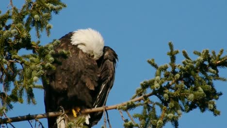 Bald-Eagle-Cleaning-Feathers