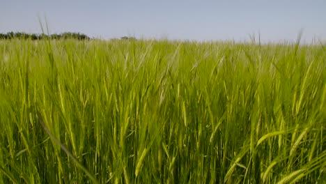Barley-Field-1