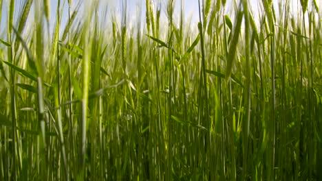 Barley-Field-2