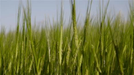 Barley-Field-3
