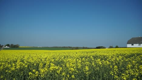 Barn-in-Mustard-Field