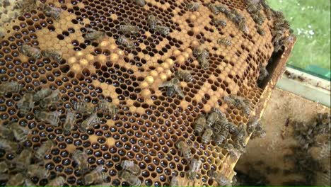 Bees-on-Honeycomb-Frame