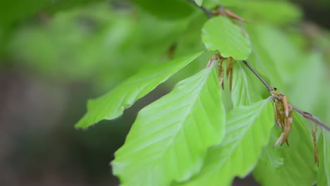 Birch-Leaves-Close-up