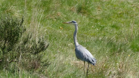 Walking-Heron