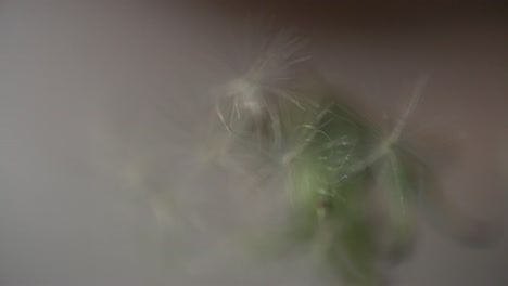 Blowing-Dandelion