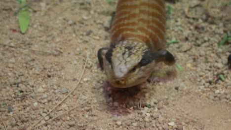 Blue-Tongued-Lizard
