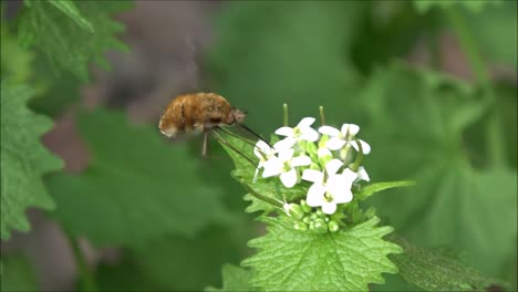 Bombyliidae-Fly