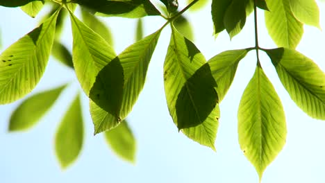 Bright-Green-Leaves-in-Breeze