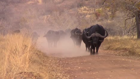Buffalo-Walking-on-Dusty-Track