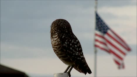 Burrowing-Owl-and-US-Flag