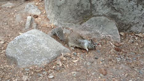 California-Squirrel