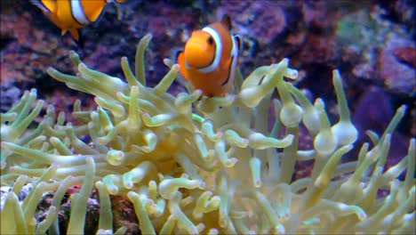 Clownfishes-in-Anemone