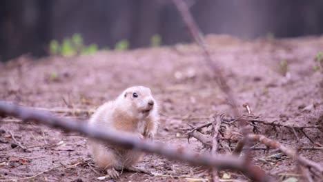 Prairie-Dog-1