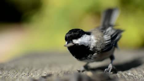 Chickadee-Feeding