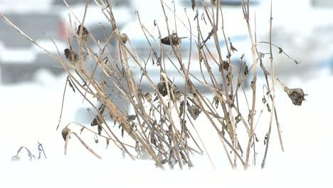 Dead-Plant-in-Snow-Blizzard