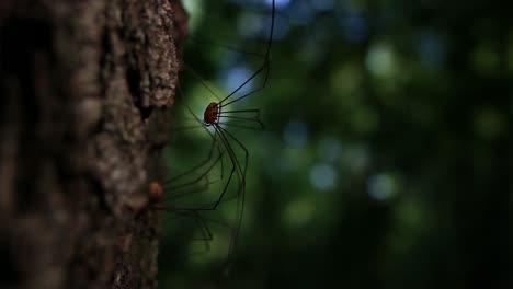 Harvestman-Spider
