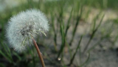 Dandelion-Close-Up