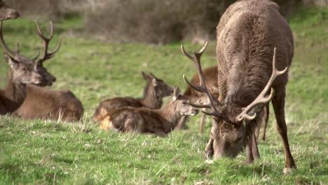 Deer-Grazing-in-Park