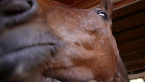Racehorse-Nose-Close-Up