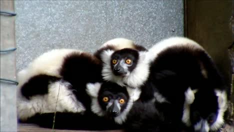 Exited-Ruffed-Lemurs