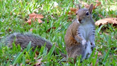 Squirrel-in-Grass