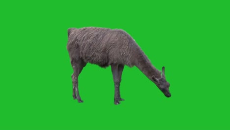 Alpaca-on-Green-Screen