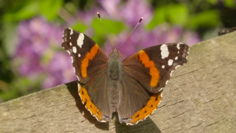 Resting-Butterfly-Close-Up-2
