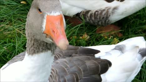 Goose-Close-Up