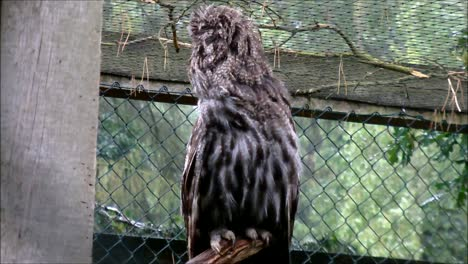 Great-Gray-Owl