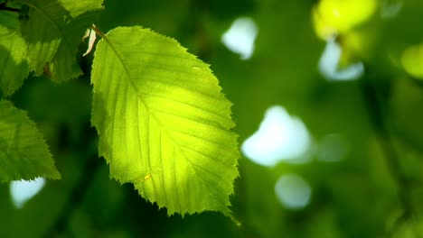 Green-Leaf-in-Sunlight