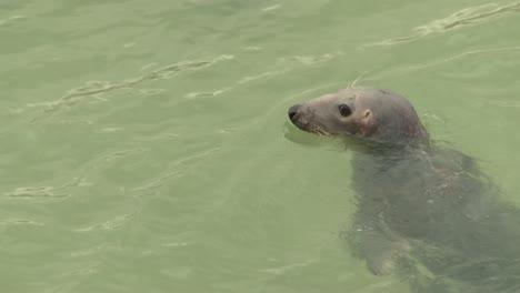 Wild-Grey-Seal