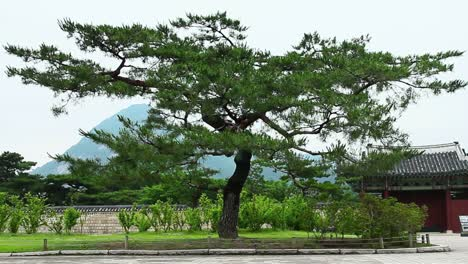 Old-Tree-at-Gyeongbok-Palace-Korea