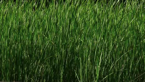 Tall-Blades-of-Grass