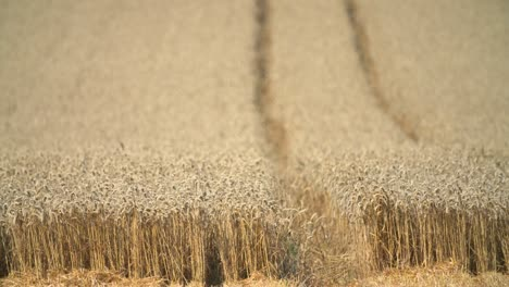 Wheat-Field-During-Harvest