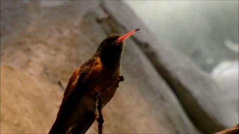 Amazilia-Hummingbird
