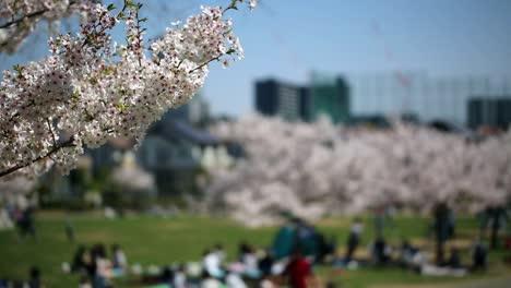 Sakura-Cherry-Blossom-Park-Japan