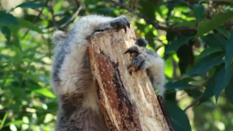 Koala-in-Tree-2