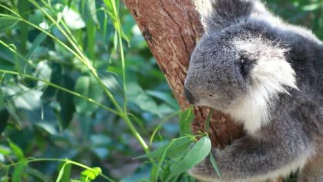 Koala-Bear-Eating-in-Tree