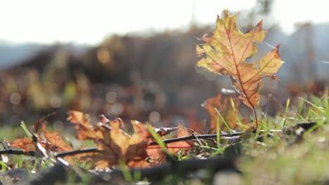 Fallen-Leaf-in-Grass