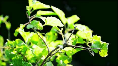Hibiscus-Leaves