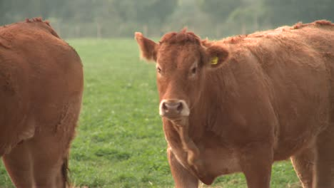 Limousin-Cows-1