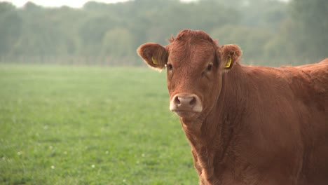 Limousin-Cow-2