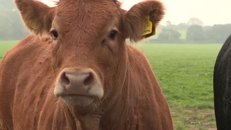 Limousin-Cows-3