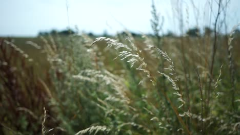 Long-Grass-in-the-Breeze-