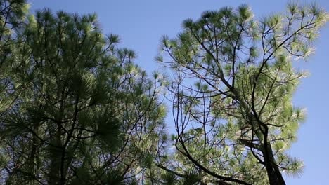 Looking-Up-at-Pine-Trees